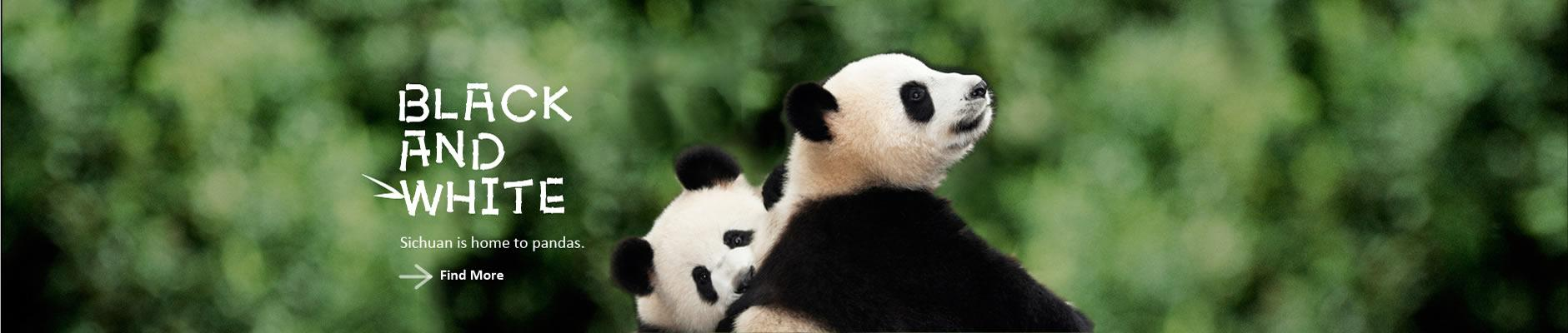 china chengdu panda volunteer and china panda holding