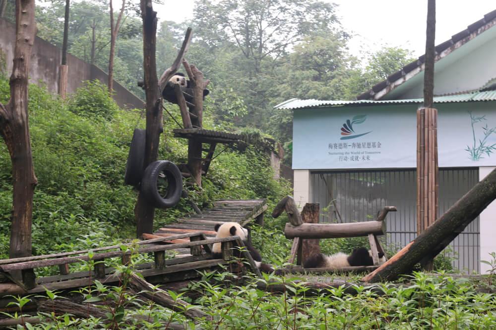 chengdu yaan panda
