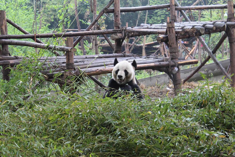 china chengdu panda sanctuary