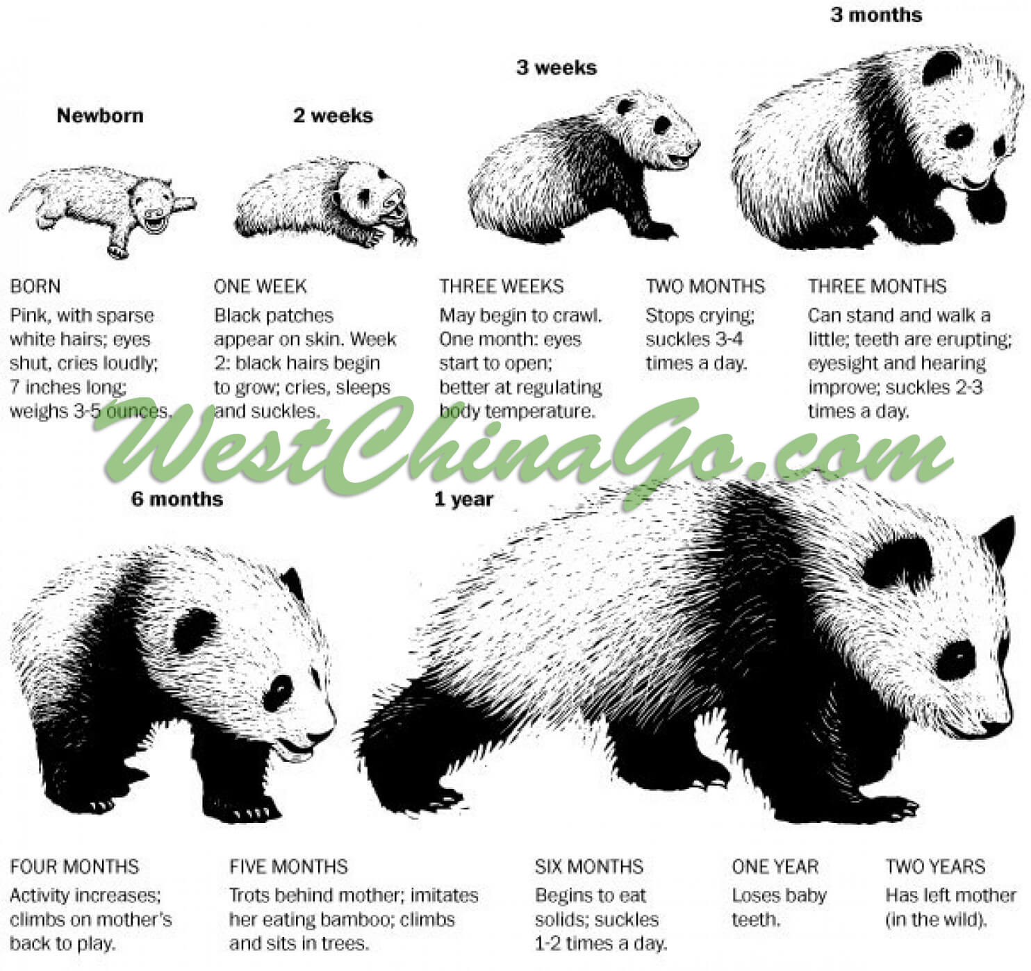 chengdu panda growth process