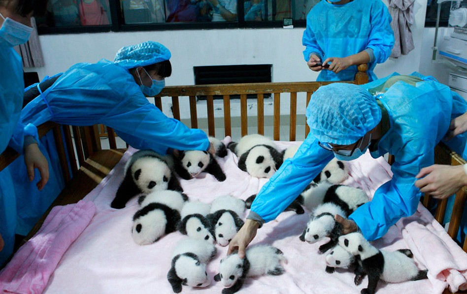 chengdu dujiangyan panda volunteer program