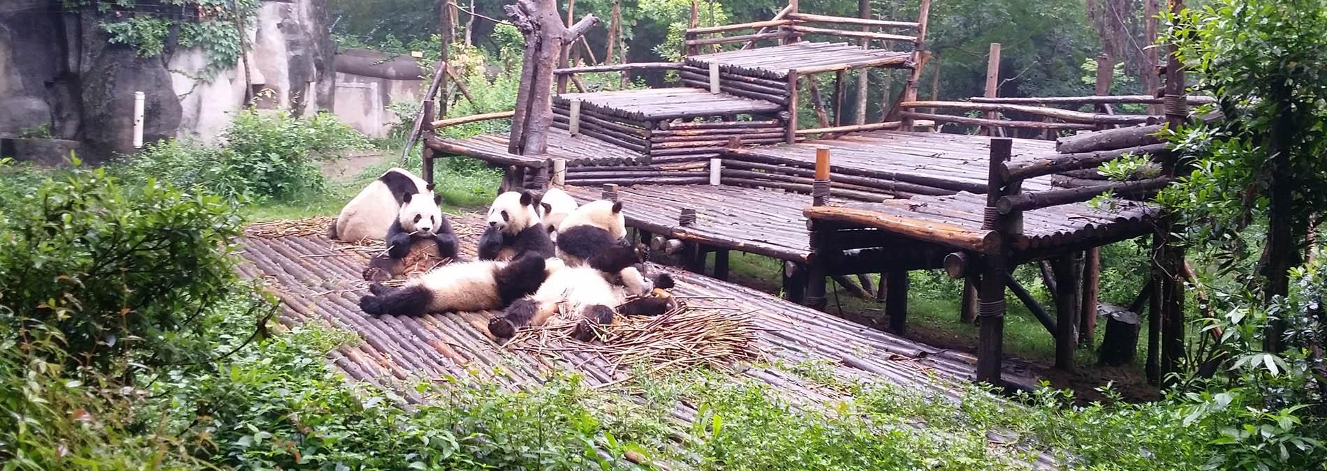 chengdu panda holding cost,chengdu panda volunteer program