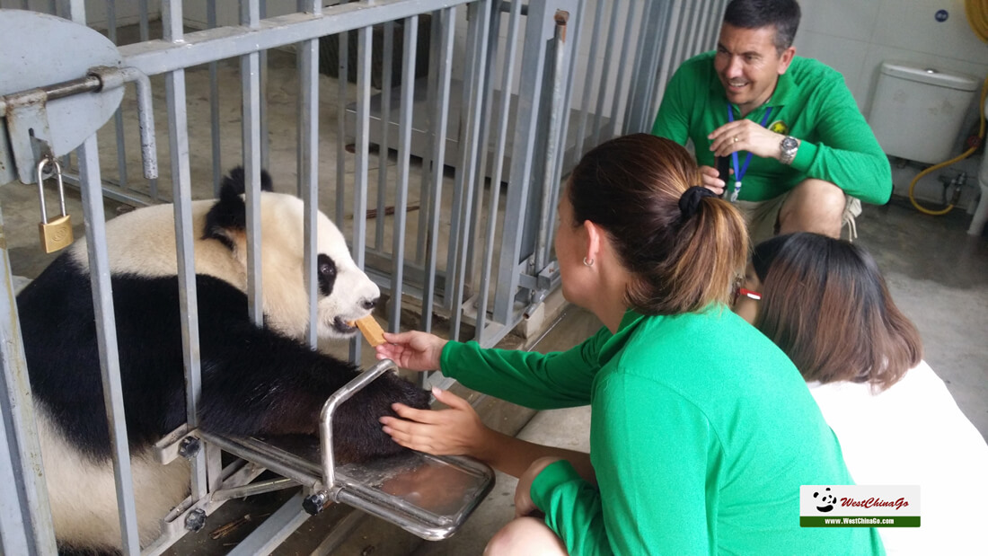 china dujiangyan panda volunteer 2019