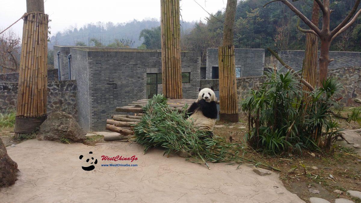 dujiangyan panda keeper program