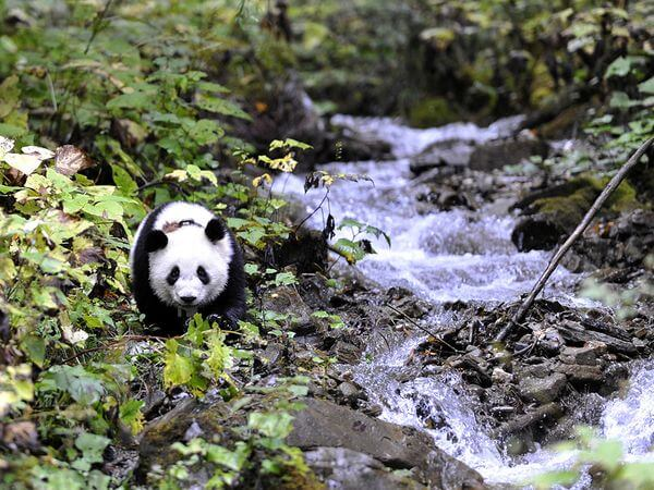 WoLong Panda Center Tour From ChengDu