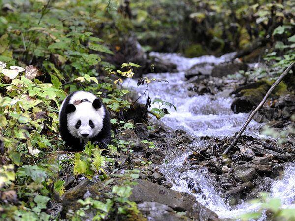 WoLong Panda Center Tour From ChengDu