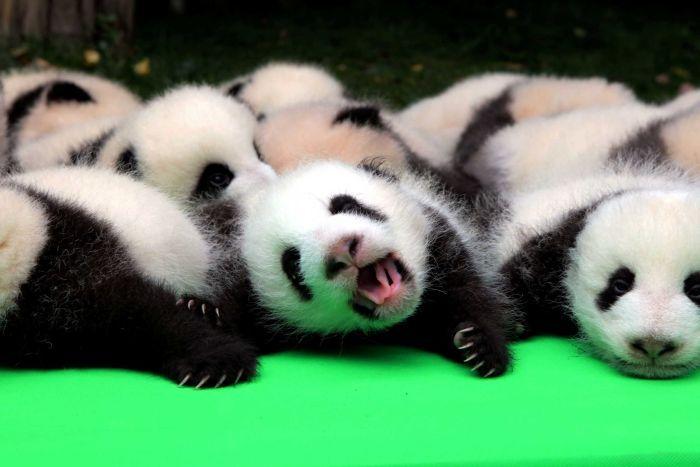 chengdu panda