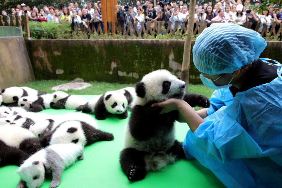 chengdu panda cub