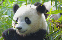 chengdu tour attractions-ChengDu Panda breeding Center