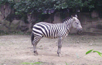 chengdu tour attractions-chengdu zoo
