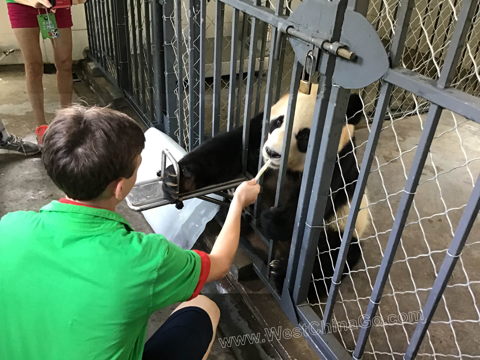 china chengdu panda volunteer