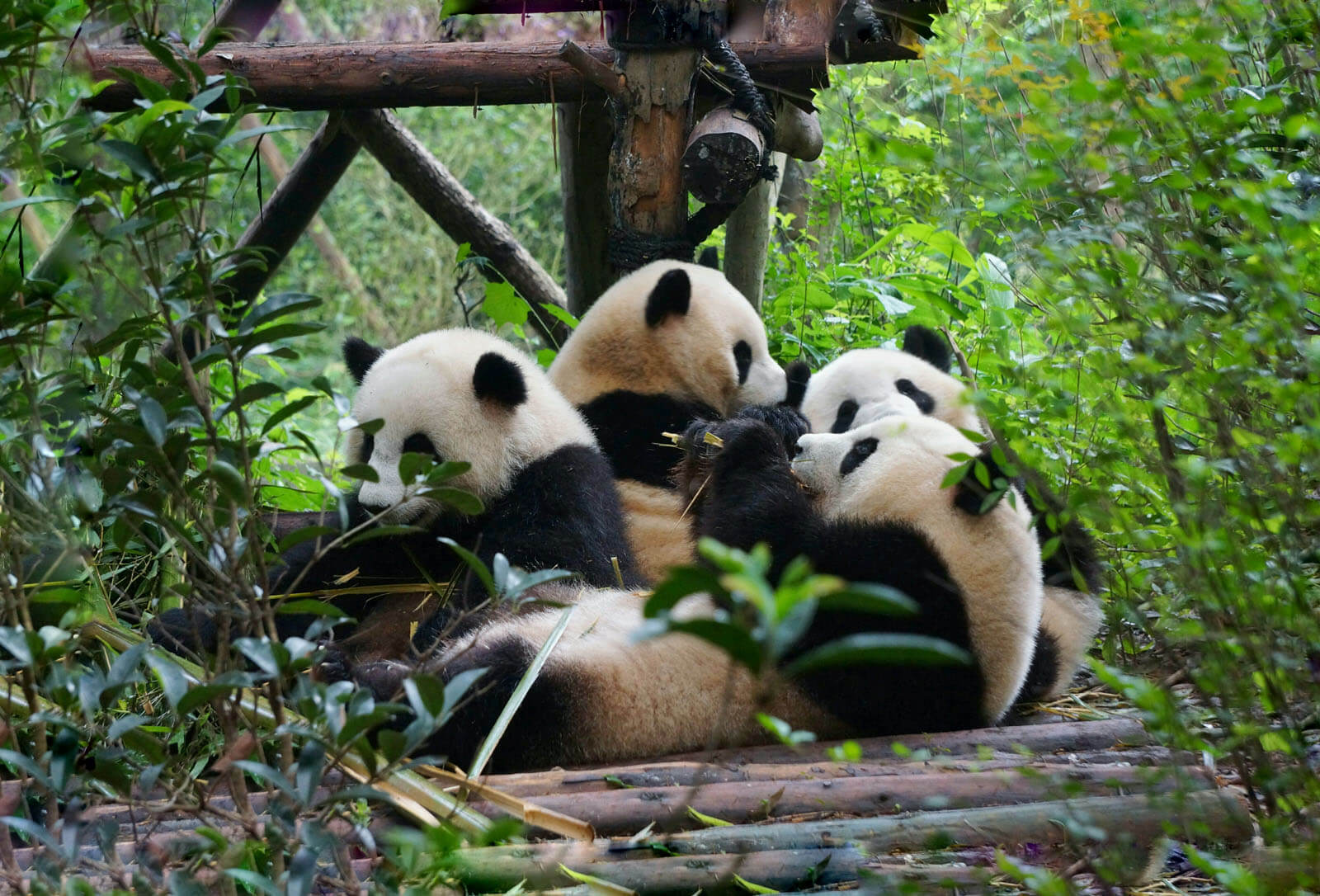 chengdu panda day tour